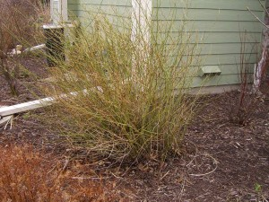 March Shrub Pruning in Waukesha County