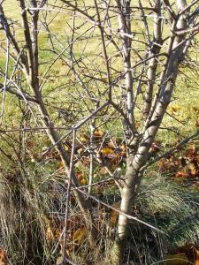 one method to remove Buckthorne - a wisconsin invasive species