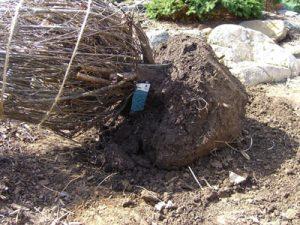 8(c)-Root-Ball-at-Ground-level